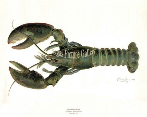 Fish Print of the American Lobster Male by Sherman F Denton (1902)